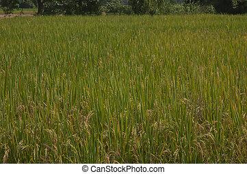 Rice fields in Thailand.