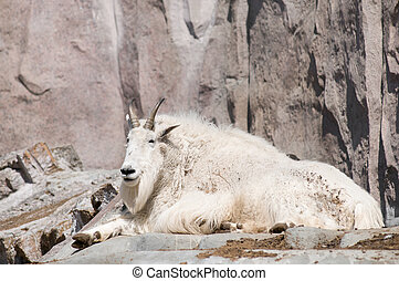 Mountain goat (Oreamnos americanus), also known as the Rocky...