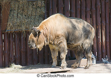 Takin Latin Budorcas taxicolor - cloven-hoofed mammal of the...
