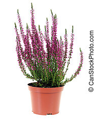 Heather - pot of heather in vase isolated on white