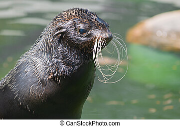 Northern fur seal, or sea cat Latin: Callorhinus ursinus -...