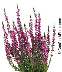 Heather - pot of purple heather in vase isolated on white