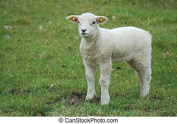lamb - Lamb in spring
