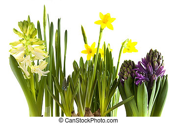 Spring flowers - spring flowers as hyacinths and daffodils