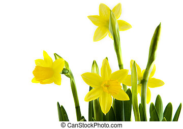 Yellow daffodils - Yellow botanical daffodils with whit...