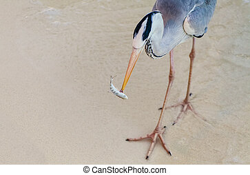 Heron catches and eats a fish - A Heron catching and eating...