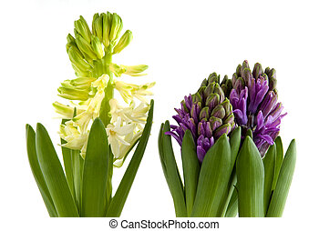 Hyacinths - purple and white hyacinths in spring