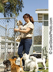 Pet Boarding - A kennel worker plays with several small dogs...