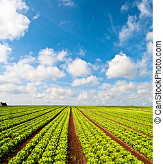Salad field and a blue sky - Rows of salad and a blue sky on...