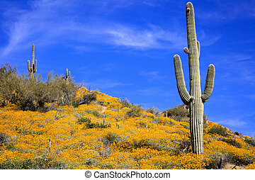 Wildflowers and Saguaro - a saguaro stands over a field of...