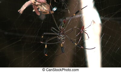 couple of golden silk orb weavers web spider, male and...