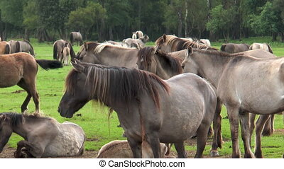 Closeup of wild living ponies - Closeup of beautiful wild...