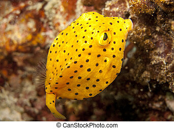 juvenile yellow boxfish - young yellow boxfish fills the...