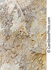 Eucalyptus tree bark - Close up beautiful eucalyptus tree...