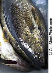 walleye closeup - closeup of walleye fresh fish