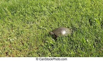 painted turtle crawling on green grass
