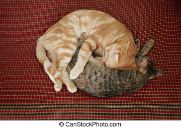 Two cats curled up - Two cats are sleeping curled up on...