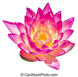 Water lily or lotus flower - Close up colorful blooming...
