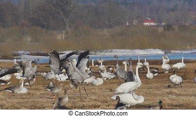 common crane