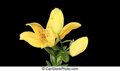 Blooming yellow lily flower