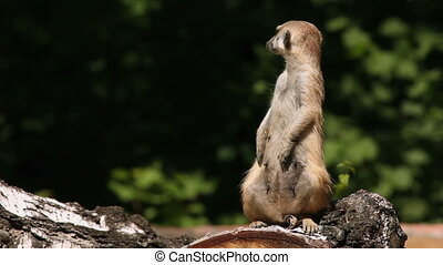 Excited meerkat. - Excited meerkat standing on a log.
