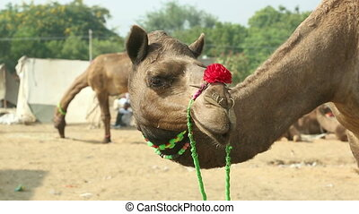 Pushkar Camel fair - Camel covered with decorations at the...
