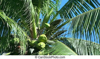 Coconut tree - Coconut trees leaves trembling in the wind