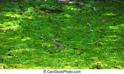 Heron - Gray heron hunting
