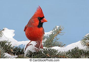 Cardinal In Snow - Male Northern Cardinal cardinalis...