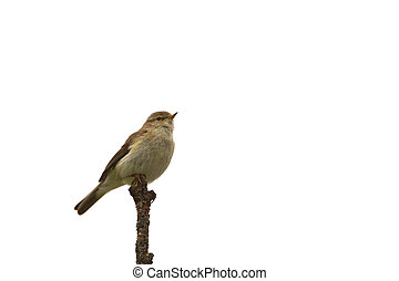 Chiffchaff on a branch isolated on white background