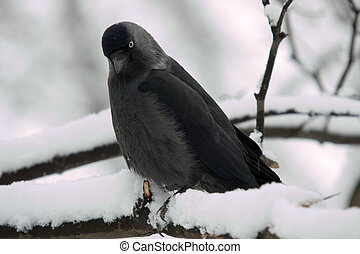 jackdaw on a branch in winter day