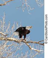 Bald Eagle Screeching - eagle on branch