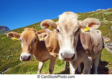 Cows on mountain meadow