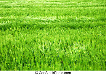 Green barley field in windy springtime
