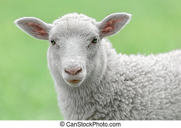 Face of a white lamb looking at you with bright green...