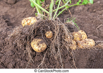 Fresh potato crop just dug out of the ground