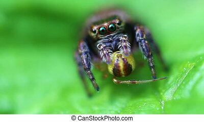 Jumping Spider - super Macro - Jumping spider with its prey...
