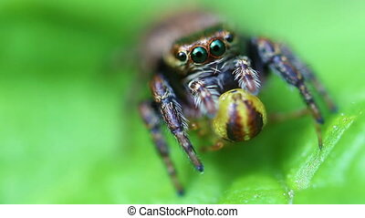 Jumping Spider - Salticidae - prey - Jumping spider with its...