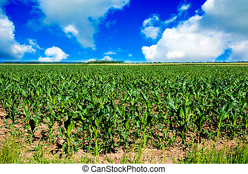 Corn field - Young corn field landscape