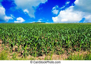 Corn field - Young corn field landscape
