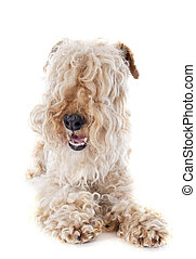 lakeland terrier in front of white background