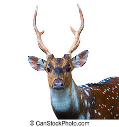 deer isolated on white background