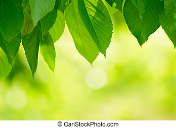 Fresh Spring Green Leaves Over Bright Background - Fresh...