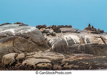Big group of Cape Fur Seal at Seal island, Hout bay harbor,...