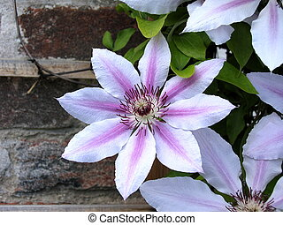 Clematis - Nelly Moser - flower of Clematis