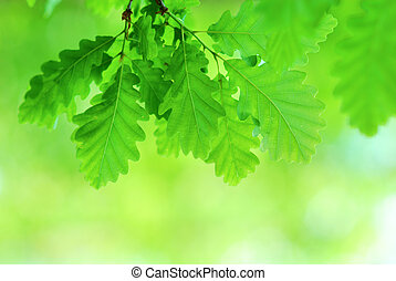 Fresh and young oak leaves in springtime