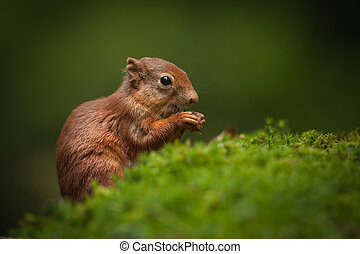 Baby Red Squirrel - A juvenile Red Squirrel that is just...