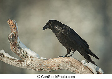 Common Raven - A Common Raven perched on a snow covered...