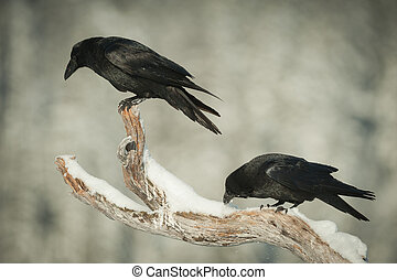 Common Ravens - A pair of Common Ravens perched on a snow...