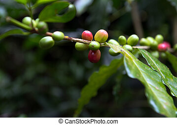 Coffee plant - Detail of coffee berries growing on...